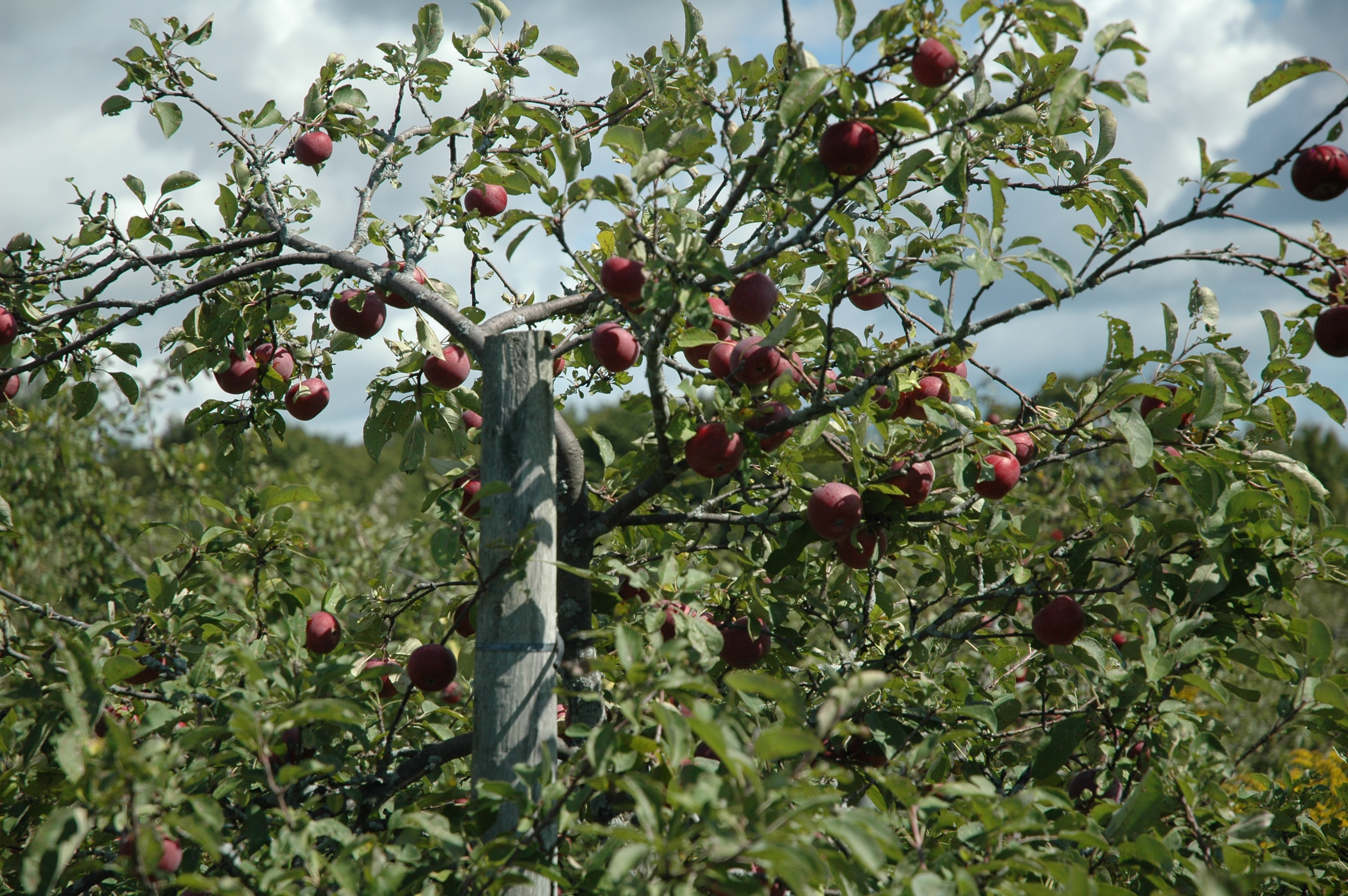 A Review of Avalon Orchard –  An Organic pick-your-own Apple Orchard